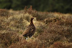 Grouse on the moors (Chris Beesley) Tags: