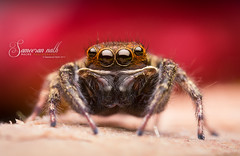 Little spider (Sameeran_Nath) Tags: red macro nature canon 50mm spider jumping wildlife f16 reverse nath arthropod salticidae 430ex sameeran me2youphotographylevel1
