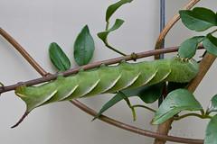Meet the muncher (tiabunna) Tags: macro green lens prime focus pentax moth australia m caterpillar nsw sphingidae 100 40 manual smc batemansbay wongawongavine k30 psilogrammamenephron australianprivethawkmoth