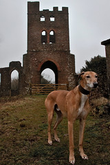 52 Weeks For Dogs, 12/52 - Lord Of The Tower (me'nthedogs) Tags: ruben somerset lurcher longdog 1252 52weeksfordogs willetttower