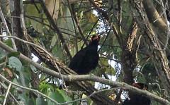 Th13_01034a (jerryoldenettel) Tags: bird thailand myna khaoyai passeriformes hillmyna graculareligiosa passerine khaoyainationalpark 2013 sturnidae gracula