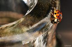 living on the edge (carlamgk) Tags: macro bottle beetle spots ladybird ladybug 105mm