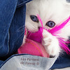 Les Persans de Fannie (Les Persans De Fannie) Tags: cats pets cat persian chats kitten chat chinchilla animaux fannie chaton chatons persan