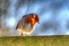 Coy Robin (inreflection) Tags: bird nature robin fence nikon flickr nef wildlife nikkor coy northyorkshire redbreast wildlifetrust askhambog nikoncapture nikondslr nikoncapturenx nikond600 nikon28300 nikonafsnikkor28300mmf3556gedvr