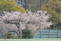 20130405-_DSC3928 (Fomal Haut) Tags: horse japan nikon nagoya 80400mm d4   14teleconverter  d800e
