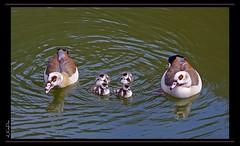 Nachwuchs _ offspring (Lutz Koch) Tags: geese pentax goose gans teich nachwuchs egyptiangoose k7 kken wasservogel alopochenaegyptiacus nilgans elkaypics