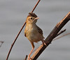 Th13_05284a (jerryoldenettel) Tags: bird thailand passeriformes cisticolajuncidis zittingcisticola cisticola passerine 2013 cisticolidae bangtaboon bangtaboonmarshes