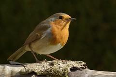 Robin (31) (jgsnow) Tags: robin birds ngc npc naturesharmony