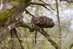 Great-horned Owl (Bubo virginianus) *Explored* (Tony Varela Photography) Tags: bird owl greathornedowl bubovirginianus flickrexplore explored photographertonyvarela