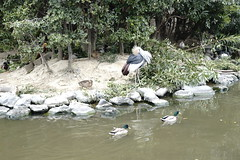 Kobe Kachoen (ddsnet) Tags: travel bird birds japan zoo sony birding 99  nippon kansai  birdwatching nihon slt backpackers       bird   zoo zoobird   kobekachoen hygoken    kbeshi    birdwatchinginjapan  singlelenstranslucent 99v