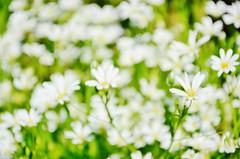 More Spring (Tinina67) Tags: wild white france flower field garden spring spirit meadow wiese jardin more tina feeling blume garten odc wayside gers ourdailychallenge tinina67