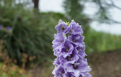 Delphinium Flowers (marylea) Tags: gardens flowers 2016 jul4 blooms delphinium lavender purple