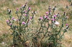 Cirsium vulgare. Garth summit 01/08/99 (Mary Gillham Archive Project) Tags: cirsiumvulgare garth planttree st1083 spearthistle wales 01081999 14430 1999 gwaelodygarth