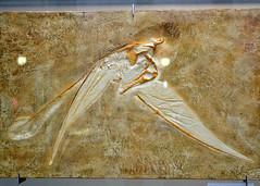 BERLIN, GERMANY - Natural Science museum/ БЕРЛИН, ГЕРМАНИЯ - музей Естественных Наук (Miami Love 1) Tags: птерозавр динозавр музей берлин палеонтологический pterosaur dinosaur museo museum naturkunde berlin paleontologico paleontology dinosaurio pterosaurio
