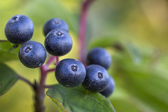 Merry Berry (Marcin Wasioek) Tags: nature macro closeup outdoor plant macroring dof berry berries marcrodreams