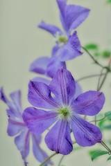 Clematis (kazs2307) Tags: flower clematis macro nature