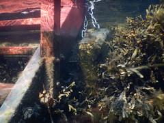Underwater Ribersborg (Alenius) Tags: underwater under water ocean snorkling snorkelling snorkeling dive diving resund malm sweden skne tng sea snorkla sverige undervatten vatten hav havet dyk dyka nikon coolpix aw130 blstng klotng bladder wrack bladderwrack seaweed fucus vesiculosus
