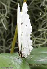 K46A8123 (Yvonne23021984) Tags: schmetterling butterfly hamm germany deutschland maxipark markro photography macrophotography canon canonphotography markofotografy canoneos7dmarkii insects insekten nature naturfotografie naturephotography closeup colorkey schmetterlinge butterflies