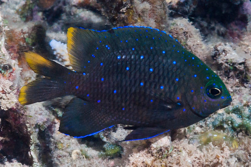 Mauritian Gregory, juvenile - Stegastes pelicieri