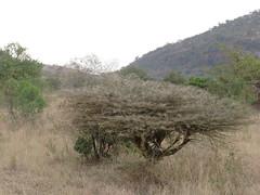 vegetacin sabana (vicentecamarasa) Tags: vegetacin sabana