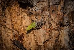 Clynotis severus (dustaway) Tags: arthropoda arachnida araneae araneomorphae salticidae clynotisseverus jumpingspiders australianspiders tullerapark tullera northernrivers nsw nature australia