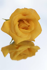 Macro Monday - In the Mirror (michel1276) Tags: macromondays inthemirror rose flower blume blte