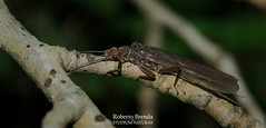 Dinocras cephalotes (Roberto PE) Tags: perlidae dinocras plecoptera