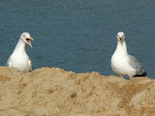 Two shouting seagulls