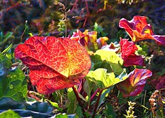 Last look . . . (JLS Photography - Alaska) Tags: alaska garden rhubarb redleaves sunlight autumn autuum jlsphotographyalaska outdoor art digitalpainting painterly topaz