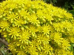 Aeonium arboreum - Floracin (detalle). (nirene) Tags: crasulseas aeoniumarboreum espigafloral detalle macro mijardn nirene