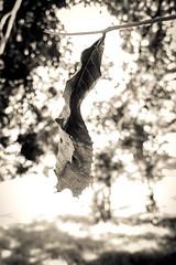 Waiting to Fall (photo.po) Tags: canong10 canongseries canon bwphotography blackandwhite bokeh leaf fall monochrome sepia