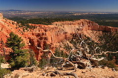 Twisted and tangled (alideniese) Tags: brycecanyon utah usa canyon overlook rocks mountains mesa branches hot dry red earth colour landscape desert