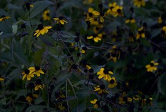 Yellow Flowers in my Backyard (martinpatrick825) Tags: sonydslr sonya330 minolta