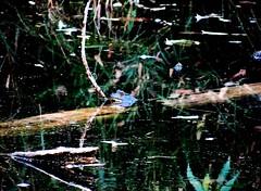 Thursday's frog (September 15, 2016) (EcoSnake) Tags: americanbullfrog lithobatescatesbeiana frogs amphibians september blue idahofishandgame naturecenter