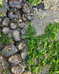 Oceanside textures (susie.garay) Tags: lookingdown seacreatures sealife anemone seaweed tidepools oregoncoast capemeares