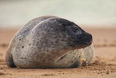 Grey seal (Jeanni) Tags: grey seal beach coast young pup fur animal dof shore north sea