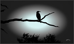 The Black Art Of Photography. (Picture post.) Tags: vignette silhouette cormorant tree branch black art interestingness