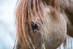 Eye of Patience (Gabriel FW Koch (fb.me/FWKochPhotography on FB)) Tags: horse animal closeup macro bokeh hair mane eyes nose ear outside outdoor farm barn corral mammal sun sunlight tame domesticated eos dof canon 100mm lseries
