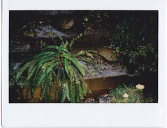 Fern plant and hail/ice pellets (Matthew Paul Argall) Tags: instax instaxwide instax210 hail icepellets fern plant