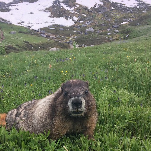 Cute marmot at Mt Rainer!