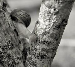 Crossing (giuseppemontalto) Tags: snail crossing attraversare photography blackandwhite fotobiancoenero bnw focus fotografia nature natureisamazing natura lumaca ostacolo nikon nikonphotography