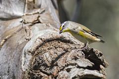 Striated Pardalote 2016-09-23 (60D_3448) (ajhaysom) Tags: striatedpardalote pardalotusstriatus woodlandshistoricpark greenvale melbourne australia australianbirds canoneos60d sigma150600