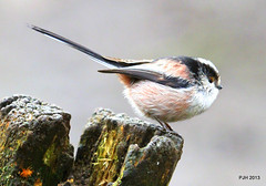 Long Tailed Tit (Peter J. Ham) Tags: life cloud rain birds shade pennington peterham lonftailedtit