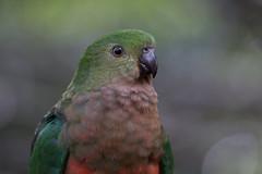 Australian King Parrot 2013-02-09 (IMG_0990) (ajhaysom) Tags: parrot australia lorne australianbirds australiankingparrot alisterusscapularis lemonadecreekcottages