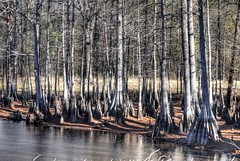 Cypress Trees, Jefferson Texas (Country Squire) Tags: trees water lumix pond texas panasonic g1 cypress jefferson dmcg1