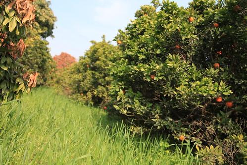 Image result for punjab orange farm