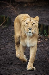 Lion (Peter Witberg) Tags: light portrait netherlands zoo licht rotterdam nikon day outdoor lion fullbody diergaardeblijdorp flickrbigcats d5100 highqualityanimals