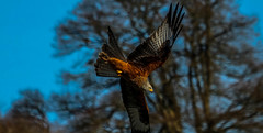 Red Kite1 (Mark (Rebel T3i)) Tags: birdwatcher redkite gigrinfarm canonef100400mm markoleary flickrbirds canoneost3i