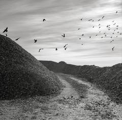 Birds and Shells, Nahcotta, Washington (austin granger) Tags: shells film birds square washington farm flight harvest oysters crows nahcotta longbeachpeninsula gf670 austingranger