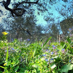 springtime arrived today in the olive groves (jjamv) Tags: flowers blue plant flower macro texture nature garden flora honey borage herb textured boragoofficinalis poppyanemone officinalis bourrache borago borraja mixedflowers komkommerkruid echiumamoenum bourracheofficinale closeupmacros spanishmarigold jjamv vpu1 julesvtravel vigilantphotographersunite vpu2 vpu3 vpu4 vpu5 vpu6 vpu7 vpu8 vpu9 vpu10 vpu20xl10awards exquisiteflowersboraginaceae